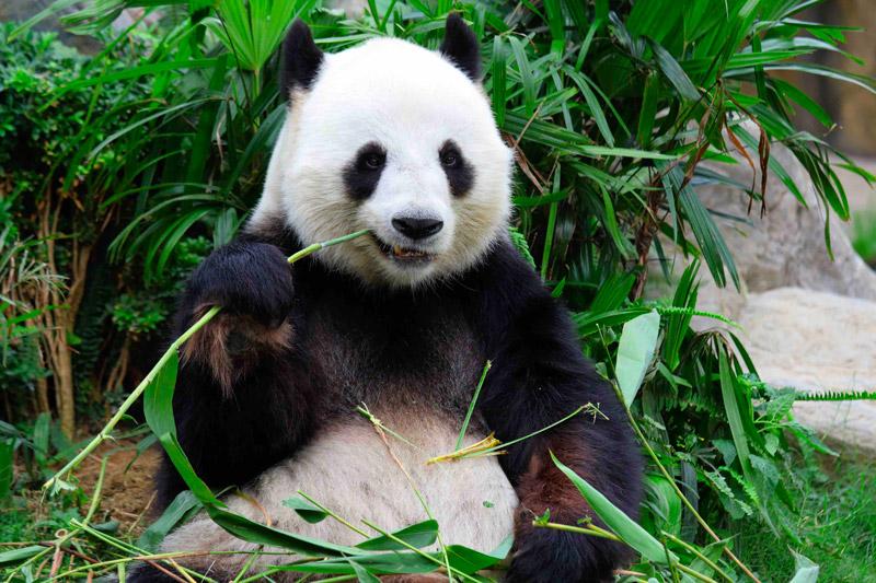 (photo d'un panda mangeant une tige de bambou)